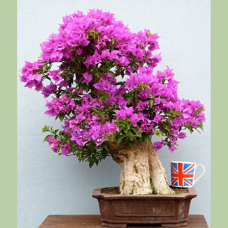 Bonsai like bougainvillea will need winter protection in the UK