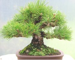 green dream bonsai tree