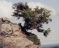 Hawthorn growing on the edge of the Welsh mountains