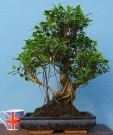 ficus-large-indoor-bonsai-tree