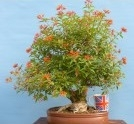 Hamelia patens indoor bonsai tree