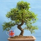 Large chinese elm quality bonsai tree