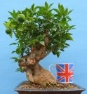 Myrtle leaf citrus flowing bonsai tree