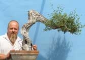 OUTSTANDING Olive Tree Bonsai Material
