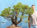 EXCEPTIONAL Scots Pine Yamadori Bonsai Material