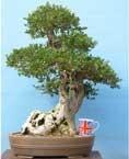 EXCEPTIONAL Yamadori Olive Bonsai Tree