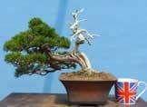 Chinese Juniper - Itoigawa - Bonsai Tree