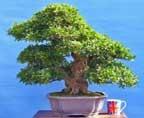 EXCEPTIONAL Large Satsuki Azalea Flowering Bonsai Tree