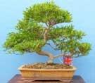 EXCEPTIONAL Szechwan Pepper Specimen Bonsai Tree
