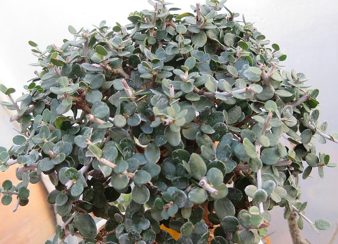Dense olive growth