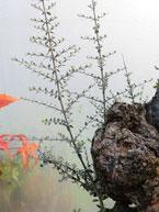 Rapid growth of olive tree