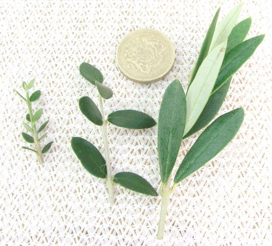 Primary types of olive tree foliage