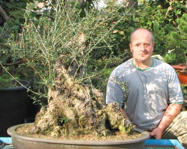 Big olive for bonsai