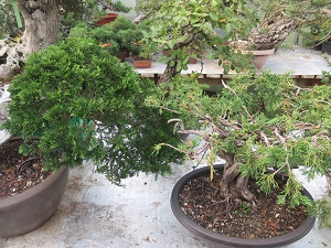 spanish sabina juniper