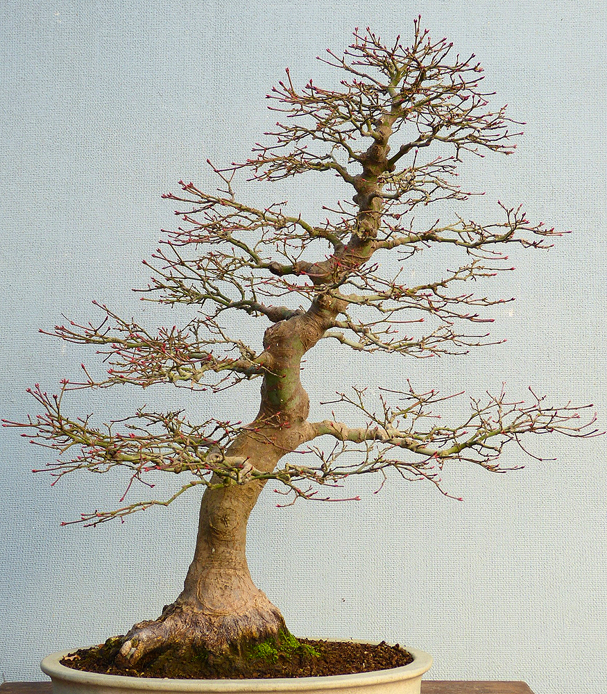 Bonsai Tree Without Leaves Bonsai Tree