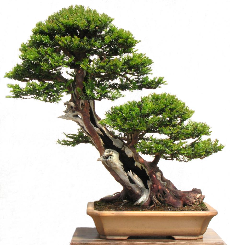 plucking yew taxus baccata kaizen bonsai blog rh kaizenbonsai com Taxus Baccata Bonsai Bonsai Tree