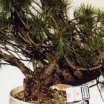 Italian black pine Pinus nigra villetta barrea