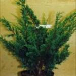 Juniperus chinensis Blaauw Image 1