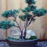 Juniperus chinensis Blaauw Image 2