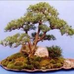 Juniperus chinensis Blaauw Image 3