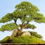 Juniperus chinensis Blaauw Image 4