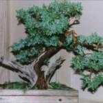 Eric's Juniper Juniperus Spp Image 2