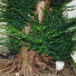 Wideboy Taxus Baccata Image 2