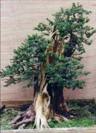 Wideboy Taxus Baccata Image 7