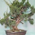 Chinese juniper Sargentii