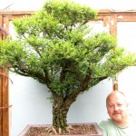 Cork bark Chinese elm