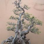 Chinese elm yamadori