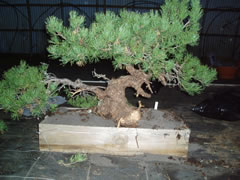 In the Workshop Yamadori Scots Pine image 1