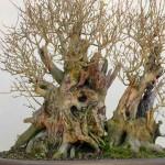 Ligustrum ovalfolium
