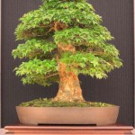 Acer burgerianum