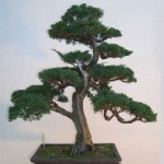 Juniperus shimpaku