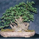 English Elm Image 2