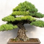 Stunning large Japanese white pine