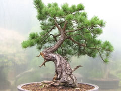 In the Workshop Yamadori Scots Pine Image 3