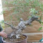 Quercus Suber Cork bark oak
