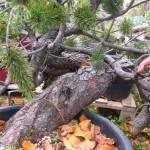Huge mugo pine