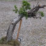 Large Mugo Pine