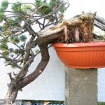 Mugo pine - pinus mugo