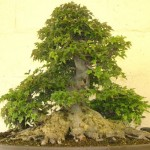 Japanese trident maple