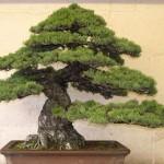 Japanese white pine - pinus parviflora