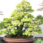 Pinus Parviflora Kokonoe White Pine
