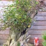 Ligustrum ovalfolium - privet