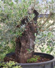 In the Workshop big Olives Image 3