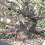 Pinus mugo-pumillio