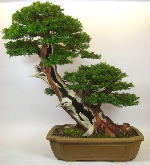 wiring yew bonsai wire center u2022 rh regalton co Marijuana Bonsai Tree Cedar Bonsai