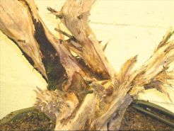 In the Workshop scabby juniper Image 2